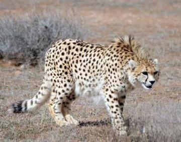 حضور کارشناسان خارجی برای تکثیر یوزپلنگ/ «لقاح مصنوعی» یوزپلنگ ایرانی را نجات میدهد؟