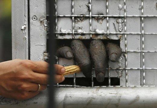قاچاق اورانگوتان از تایلند به جاکارتا اندونزی