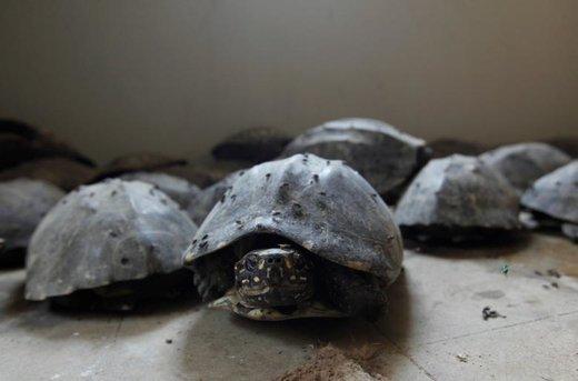 کشف قاچاق لاکپشت خالدار در شهر کراچی پاکستان