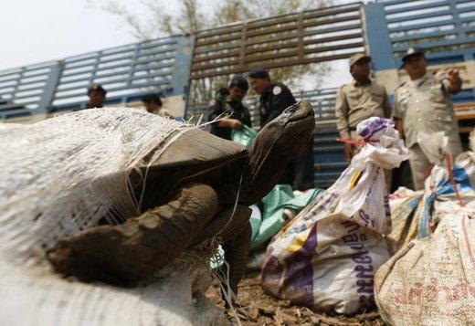 کشف قاچاق لاکپشت در کامبوج