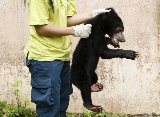 کشف قاچاق خرس آفتاب مالایایی در شهر کوالالامپور مالزی