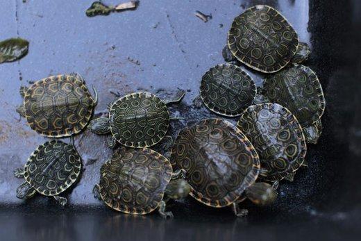 کشف قاچاق لاکپشت در شهر سانسالوادور السالوادور