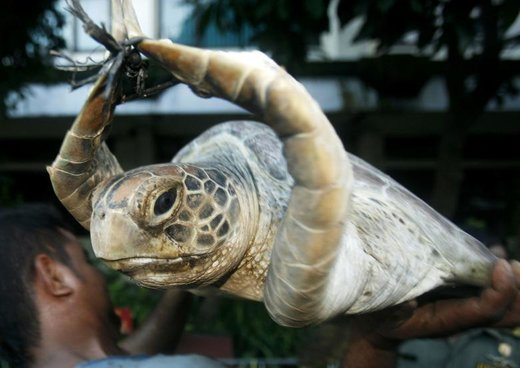 کشف قاچاق لاکپشت سبز در اندونزی