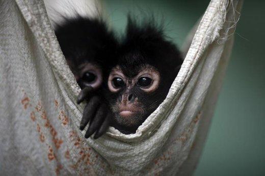 قاچاق میمون عنکبوتی در مکزیکوسیتی