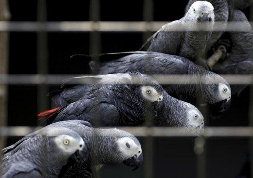 کشف قاچاق کاسکو یا طوطی خاکستری آفریقایی در اوگاندا