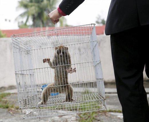 کشف قاچاق چشمگِرد یا لوریس در شهر کوالالامپور مالزی
