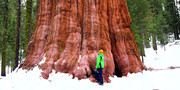 فیلم | پیرترین و بلندترین درخت جهان