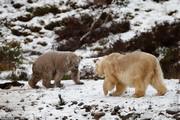 تصاویر | توله خرس قطبی که هزاران گردشگر را به اسکاتلند کشاند