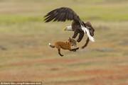 تصاویر   جنگ عقاب و روباه بر سر شکار یک خرگوش
