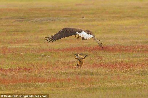 نزاع عقاب سرسفید با روباه قرمز بر سر شکار