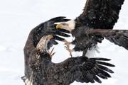 عکس | نبرد عقابها در عکس روز نشنال جئوگرافیک