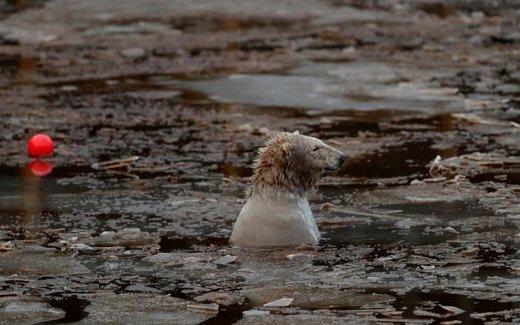آبتنی خرس قطبی در پارک حیات وحش هایلند اسکاتلند