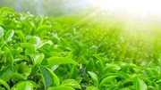 ۳۴ کشور اروپایی و آسیایی مشتری مهم چای ایرانی