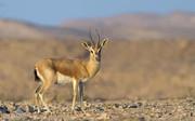 فیلم | مرگ دردناک آهو از ترس شکارچیان بندرلنگه