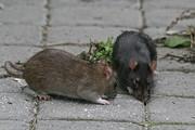 فیلم | رفتار عجیب و غیرانسانی چند کارگر با موشهای فاضلاب (۱۴+)