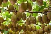 جمهوری آذربایجان مشتری ویژه کیوی گیلان