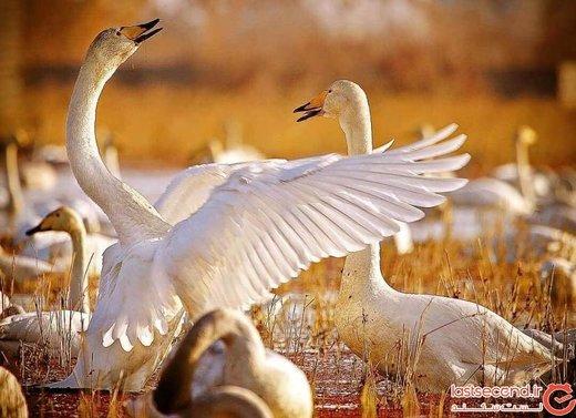 تالاب میانکاله مازندران، بهشت پرندگان