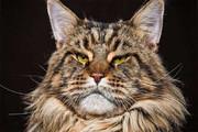 تصاویر | غول مهربان؛ گربه ای با یک نژاد خاص!