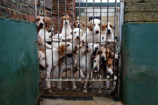 یک دسته از سگها قبل از آغاز مراسم روز باکسینگ در بریتانیا