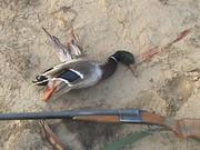 انتشار تصاویر اردکهای شکار شده در فضای مجازی کار دست شکارچی داد