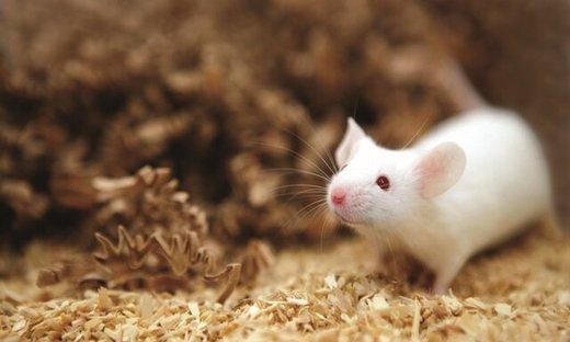 موشها ممکن است اولین مسافران ماه باشند