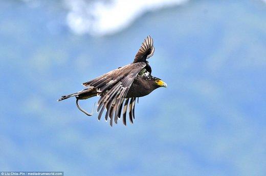 فرود یک پرنده سیاه کوچک بر روی عقاب در تایوان