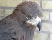 توقیف عقاب ۵۰ میلیون تومانی در ریگان