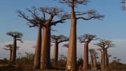 درختان بائوباب در حال مرگاند