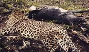 حمله پلنگ گرسنه به گاو روستایی در چالوس