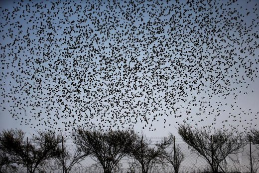 پرواز دسته جمعی پرندگان مهاجر در  آسمان فلسطین اشغالی