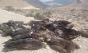 علت مرگ عقابهای فارس هنوز مشخص نیست