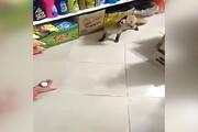 فیلم | روباهی که هر شب برای گرفتن غذا به سوپرمارکت میرود!
