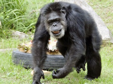 'جانی'، پیرترین شامپانزه جهان در ژاپن مرد