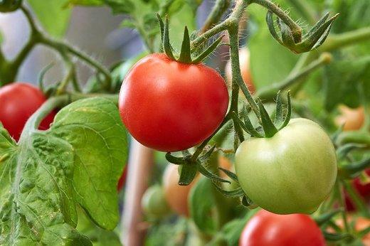 استفاده از رایحه گوجه برای حفاظت در برابر باکتری