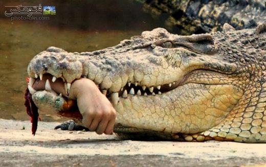کروکودیل ۵ متری آدمخوار کار دست همنوعهایش داد