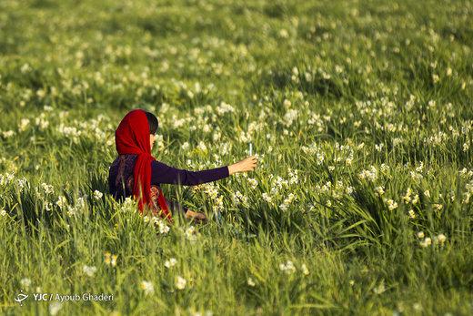 دشت گل نرگس