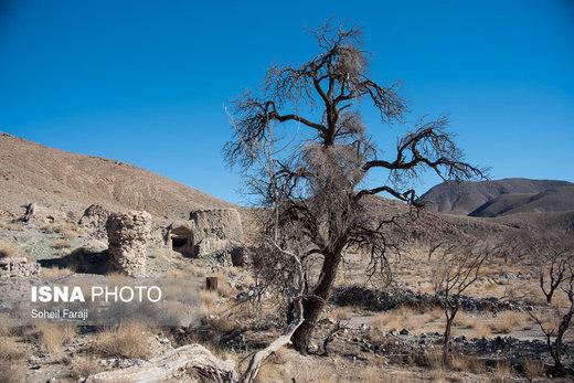 درختانی که با توجه به خالی بودن ساکنان روستا و نبود آب کافی در حال خشک شدن هستند