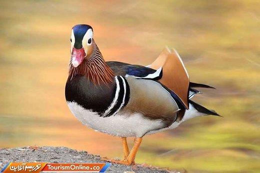اردک ماندارین