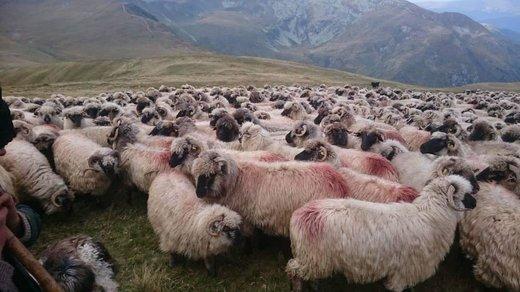 دامهای زنده از رومانی رسیدند/ بازار گوشت در آستانه کاهش قیمت