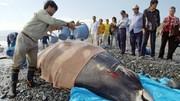 بیماری «رفع فشار» به دنبال «سونار»، دلیل اصلی خودکشی نهنگ منقاریان