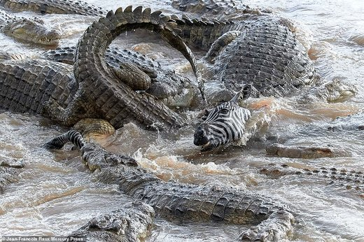 شکار گورخر توسط تمساحها
