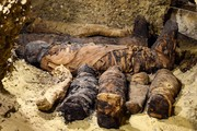 تصاویر | کشف ۵۰ مومیایی از دوره پادشاهی بطلمیوسی