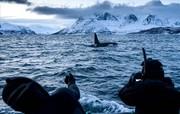 تصاویر | شنا با نهنگهای قاتل در آبهای نروژ