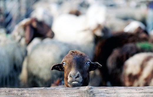 فیلم | واکنش گوسفند به فروش آنلاین گوشت!