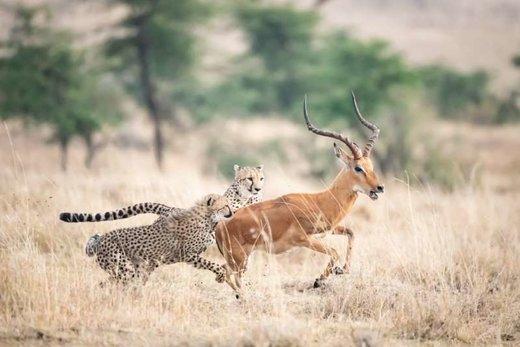 فرار آهو از چنگال دو یوزپلنگ در کنیا