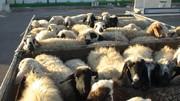 گوسفندان رومانیایی خوراک تهرانیها میشوند