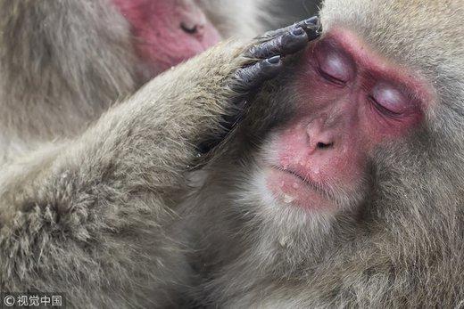 آبتنی میمونهای ماکاک در چشمه آب گرم ژاپن