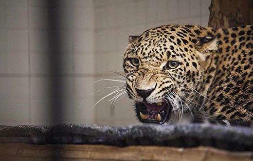 پلنگهای باغوحش تهران برای نخستین بار جفتگیری کردند