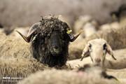 تصاویر | گوسفندهای رومانیایی در تهران
