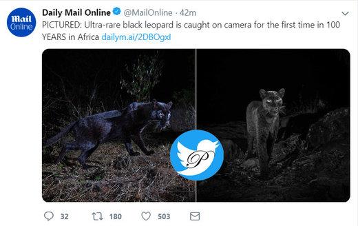 دیده شدن لئوپارد مشکی در افریقا پس از ۱۰۰ سال/ عکس